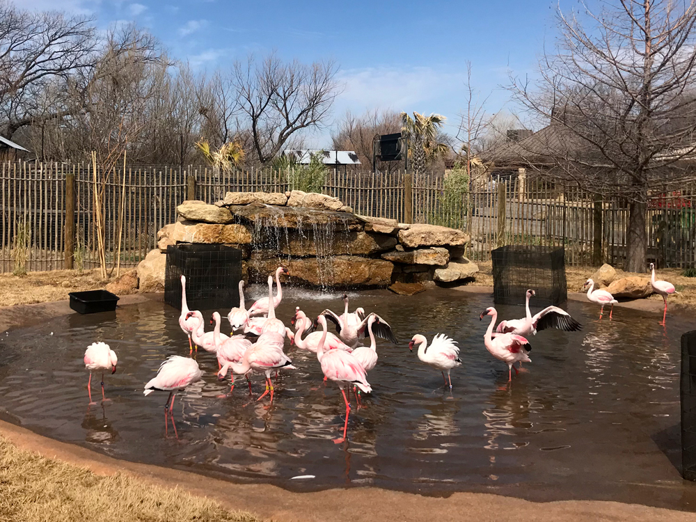 Flamingos Wading in a Pool Fed by a Small Waterfall
